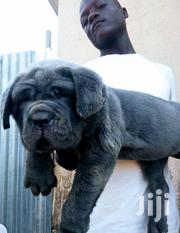 Young Female Purebred Bullmastiff | Dogs & Puppies for sale in Central Region, Kampala