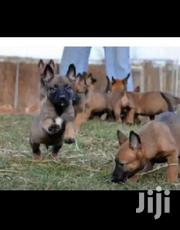 Young Male Purebred Belgian Malinois | Dogs & Puppies for sale in Central Region, Kampala