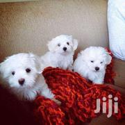 Cute Maltese White Puppies | Dogs & Puppies for sale in Central Region, Kampala