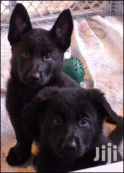 Black Beautiful German Sherperd Puppies | Dogs & Puppies for sale in Central Region, Kampala