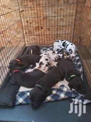Young Male Purebred Great Dane | Dogs & Puppies for sale in Central Region, Kampala