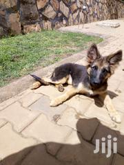 Senior Female Mixed Breed German Shepherd Dog | Dogs & Puppies for sale in Central Region, Kampala