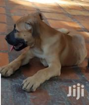 Baby Female Purebred Boerboel | Dogs & Puppies for sale in Central Region, Kampala