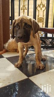 Young Male Purebred Bullmastiff | Dogs & Puppies for sale in Central Region, Mukono