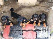 Senior Male Purebred Doberman Pinscher | Dogs & Puppies for sale in Central Region, Kampala