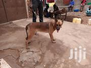 Young Female Purebred Belgian Malinois | Dogs & Puppies for sale in Central Region, Kampala