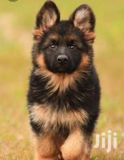 Senior Male Purebred German Shepherd | Dogs & Puppies for sale in Central Region, Kampala
