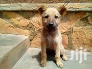Baby Male Mixed Breed German Shepherd | Dogs & Puppies for sale in Central Region, Wakiso