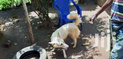 Adult Female Purebred Fox Terrier | Dogs & Puppies for sale in Central Region, Kampala