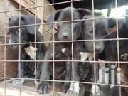 Baby Male Purebred Boerboel | Dogs & Puppies for sale in Central Region, Wakiso