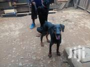 Young Male Purebred Doberman Pinscher | Dogs & Puppies for sale in Central Region, Kampala