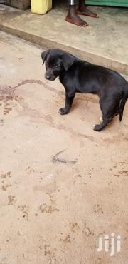 Young Female Mixed Breed Boerboel | Dogs & Puppies for sale in Central Region, Kampala