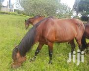 Horse Stallion | Other Animals for sale in Central Region, Masaka