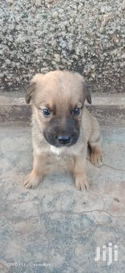 Young Male Purebred French Bulldog | Dogs & Puppies for sale in Central Region, Kampala