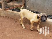 Young Male Purebred Boerboel | Dogs & Puppies for sale in Central Region, Kampala
