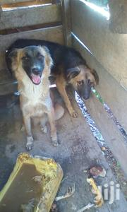 Adult Male Mixed Breed German Shepherd | Dogs & Puppies for sale in Central Region, Kampala