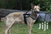 Adult Female Mixed Breed German Shepherd | Dogs & Puppies for sale in Central Region, Kampala