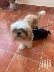 Young Male Purebred Shih Tzu | Dogs & Puppies for sale in Central Region, Kampala