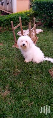 Adult Male Purebred Maltese | Dogs & Puppies for sale in Central Region, Kampala
