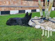 Young Female Purebred German Shepherd | Dogs & Puppies for sale in Central Region, Kampala