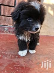 Young Female Purebred Pomeranian | Dogs & Puppies for sale in Central Region, Kampala