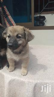 Young Female Mixed Breed German Shepherd | Dogs & Puppies for sale in Central Region, Kampala