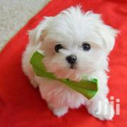 White Quality Maltese Puppies | Dogs & Puppies for sale in Central Region, Kampala