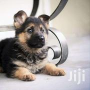 German Sherperd Pure Breed Puppies | Dogs & Puppies for sale in Central Region, Kampala