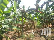 1 Acre Of Land And Banana Plantation For Sale In Kikyusa Luwero   Land & Plots For Sale for sale in Central Region, Luweero