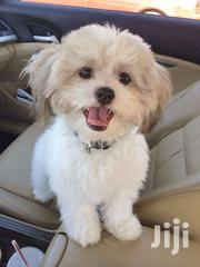 Maltese White Puppies | Dogs & Puppies for sale in Central Region, Kampala